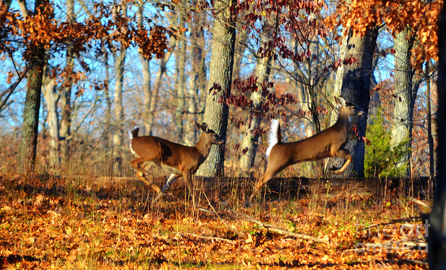 Landscape Photograph -  White Tail Deer Leaping  by Peggy Franz