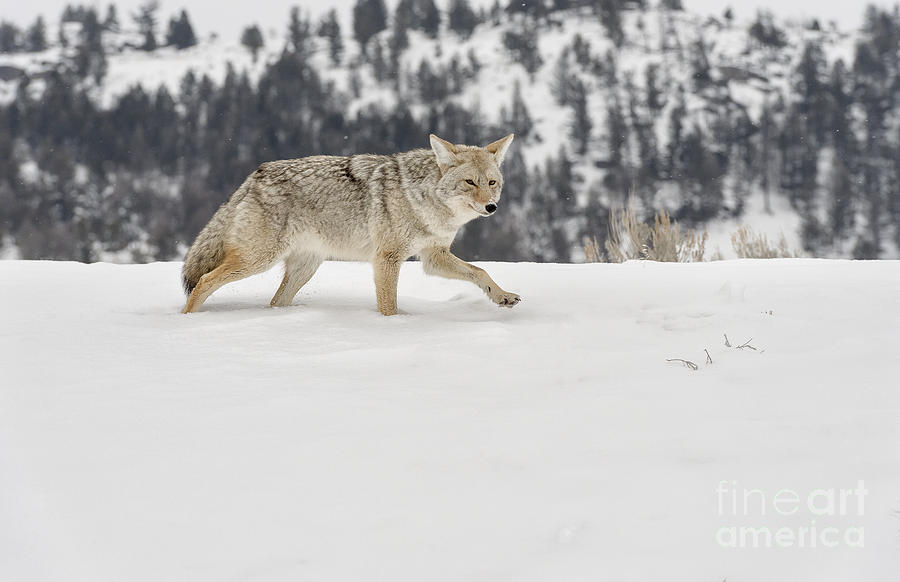 Wildlife Photograph -  Winters Determination by Sandra Bronstein