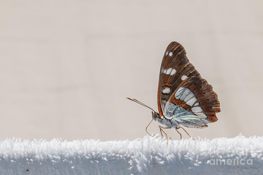 Butterfly Photograph - 01 Southern White Admiral Butterfly by Jivko Nakev