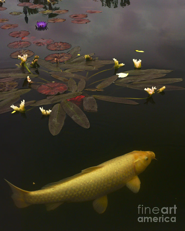 Koi Photograph - 0212 Yellow Koi by Lawrence Costales