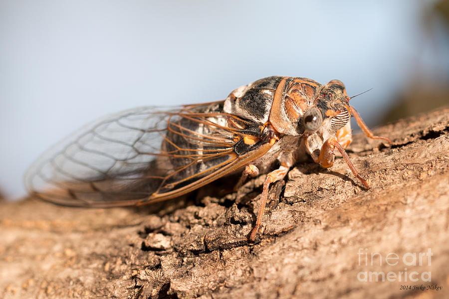 Cicadetta Montana Photograph - 05 New Forest Cicada  by Jivko Nakev