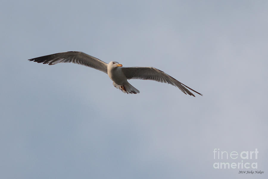 07 Yellow-legged Gull Photograph