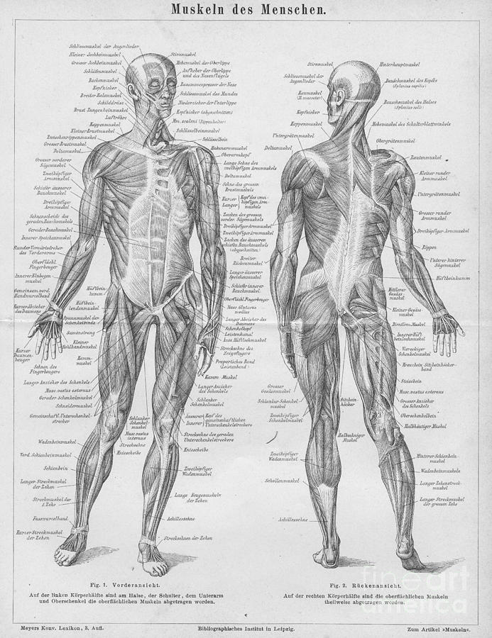 1879 Engraving Print Anatomy Human Body Muscular System Muscles ...