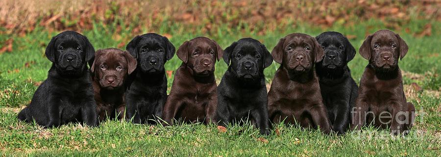 Labrador Retriever Dog Food Allergies