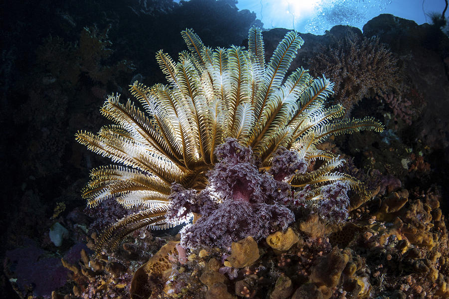 A Colorful Crinoid In Komodo National Photograph