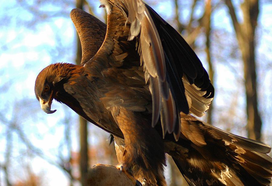 A Golden Eagle Photograph - A Golden Eagle by Raymond Salani III