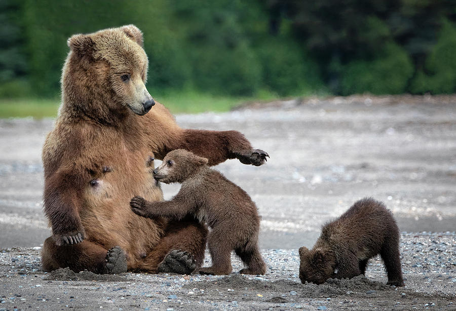 Bear Photograph - A Mothers Love by Renee Doyle