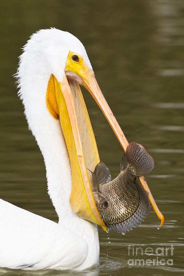 Pelican Photograph - A Mouthful by Bryan Keil