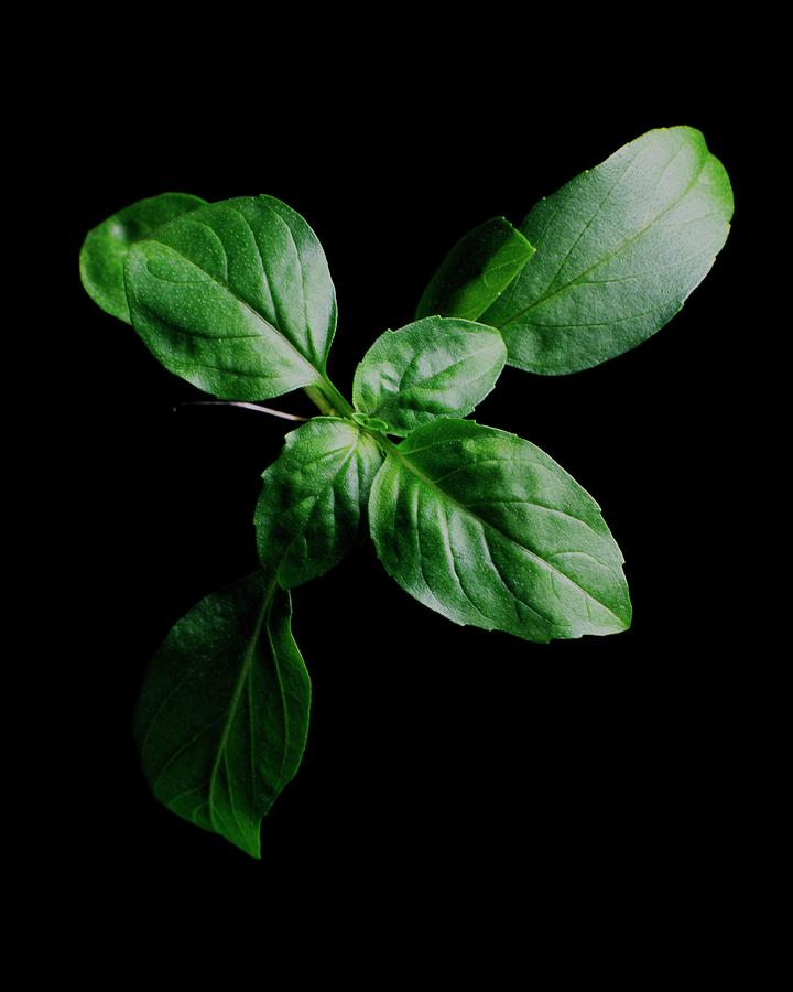 A Sprig Of Basil Photograph by Romulo Yanes