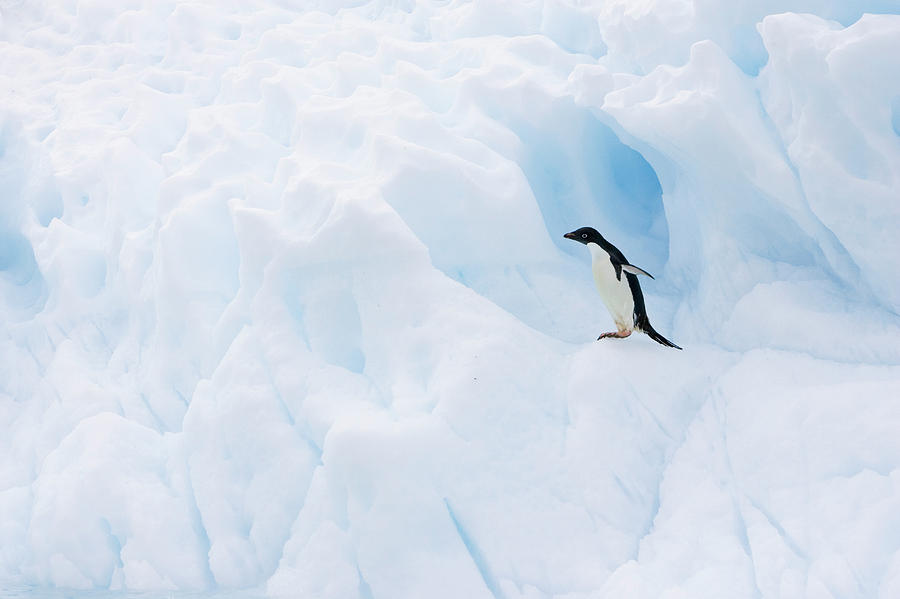 Adelie Penguin Photograph - Adelie Penguin On Iceberg by Suzi Eszterhas