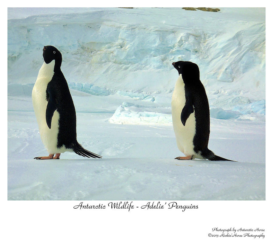 Adelie Penguin Photograph - Adelie Penguins by David Barringhaus
