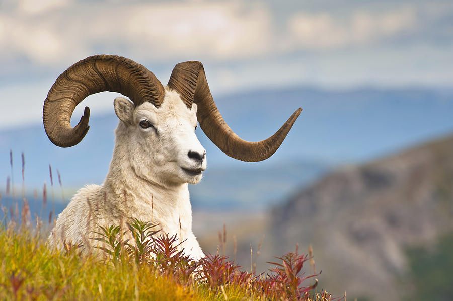 Adult Dall Sheep Ram Resting Photograph By Michael Jones