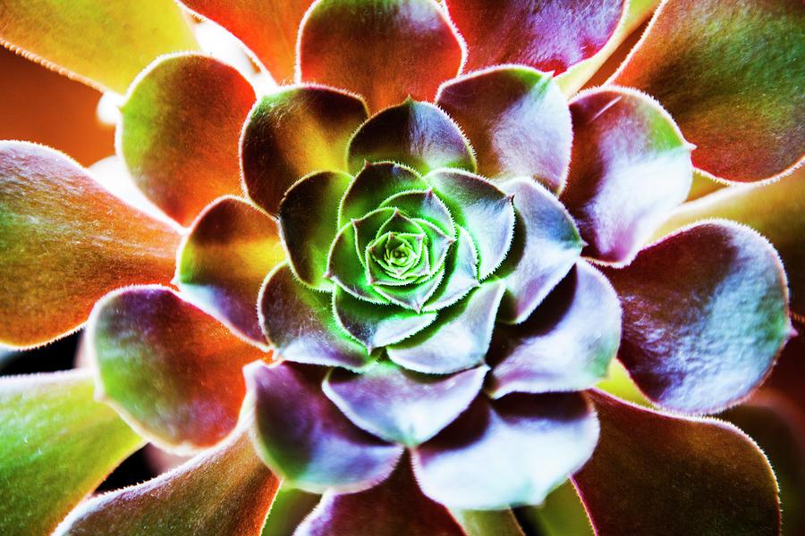 Aeonium Arboreum Plant Photograph by Renphoto
