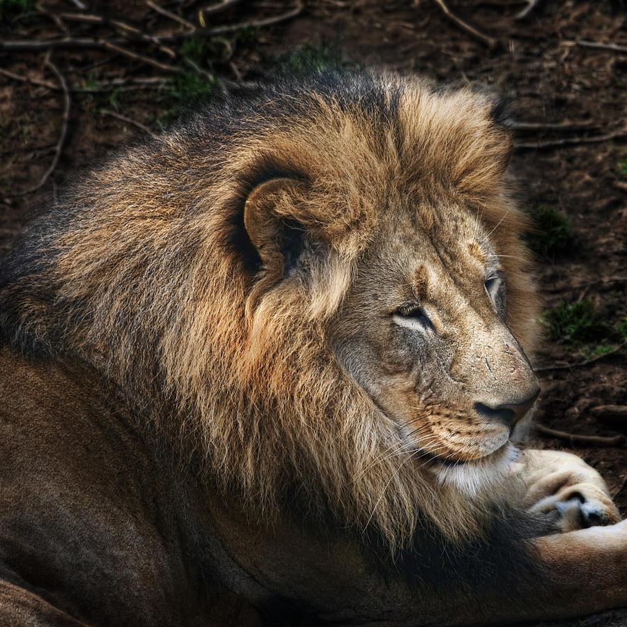 Lion Photograph - African Lion by Tom Mc Nemar