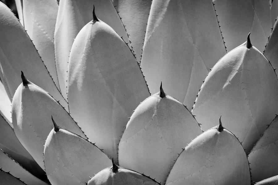 Agave Photograph - Agave Leaves by Kelley King