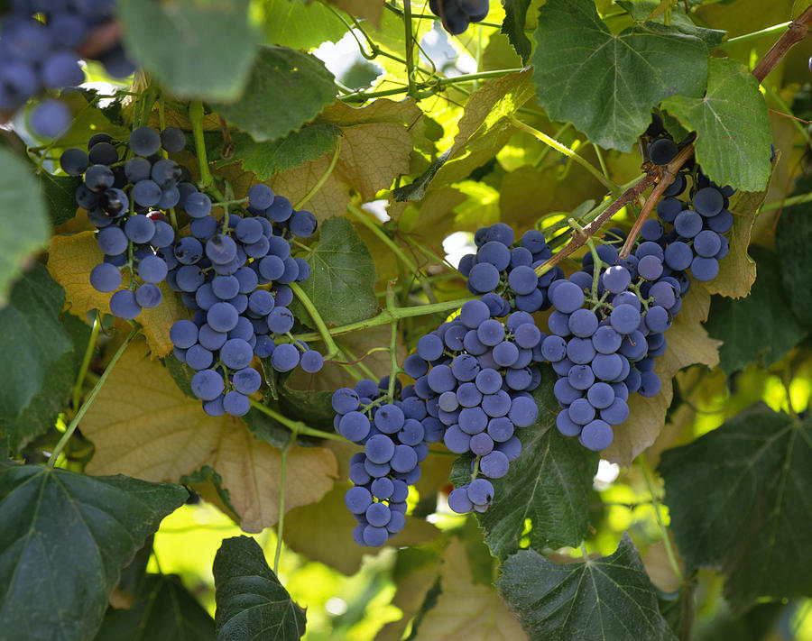Concord Photograph - Agriculture - Concord Tablejuice Grapes by Gary Holscher