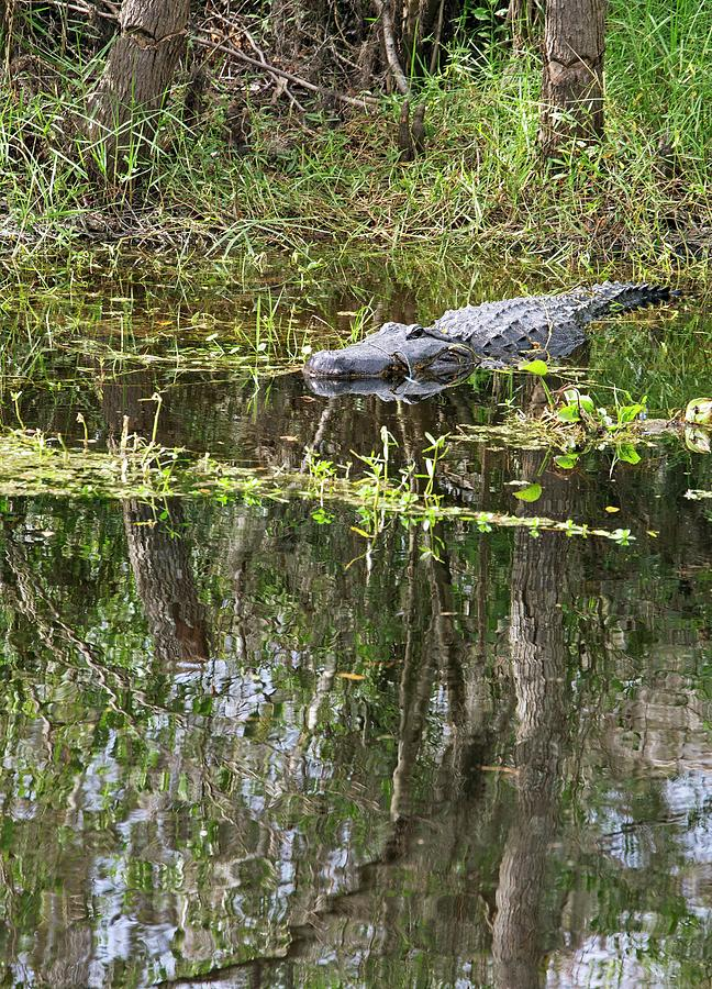 American Alligator Photograph - Alligator In Swamp by Jim West