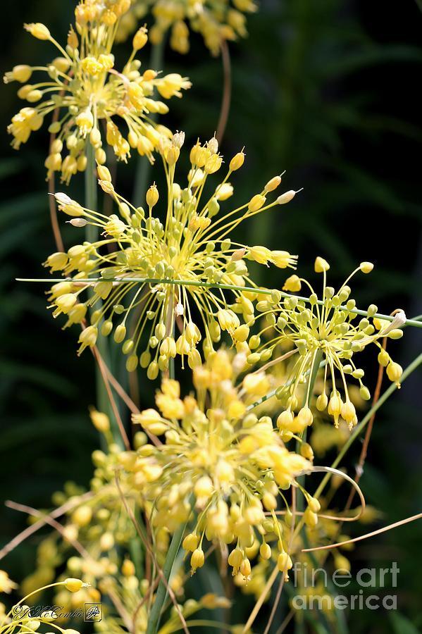 Allium Flavum Or Fireworks Allium Photograph By J Mccombie