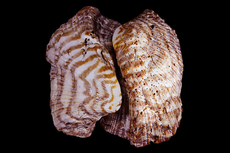 Seashell Photograph - Almost Twins by Robert Bascelli