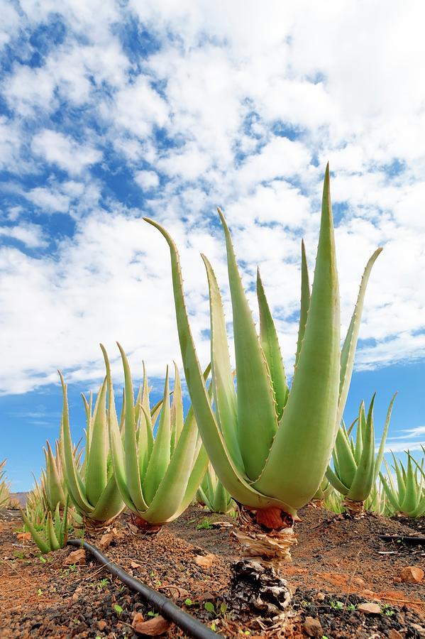 Agriculture Photograph - Aloe Vera Farm by Wladimir Bulgar/science Photo Library