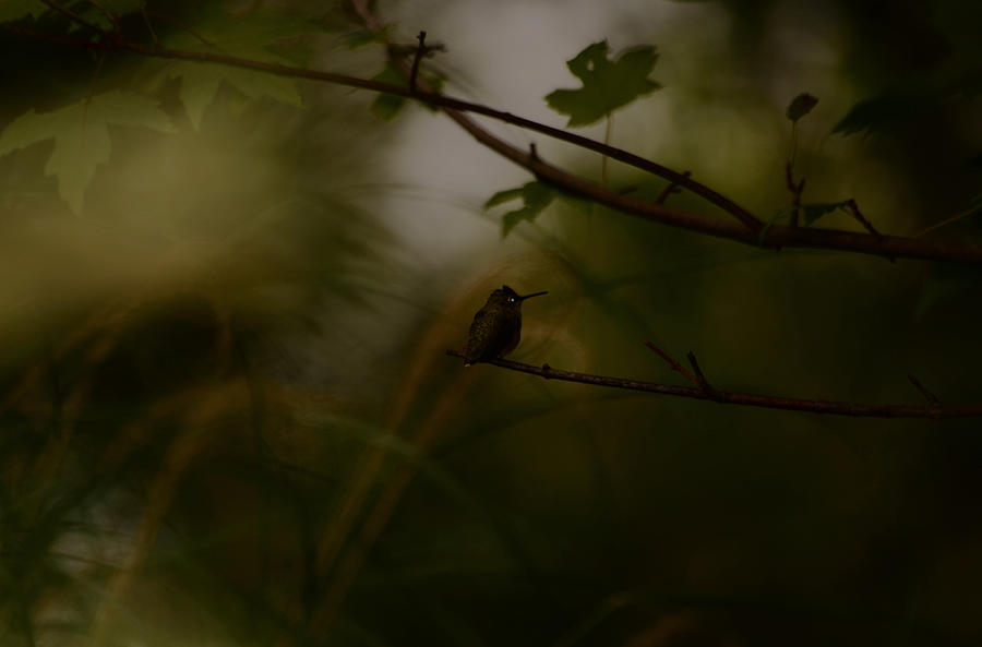 Hummingbird Photograph - Alone by Lori Tambakis