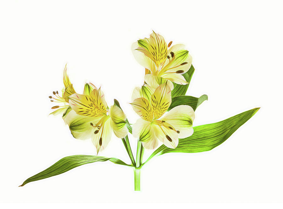 Horizontal Photograph - Alstroemeria Flowers Against White by Panoramic Images