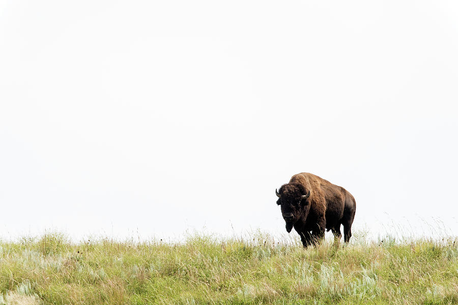 American Bison Buffalo, Wind Cave Photograph by Mark Newman