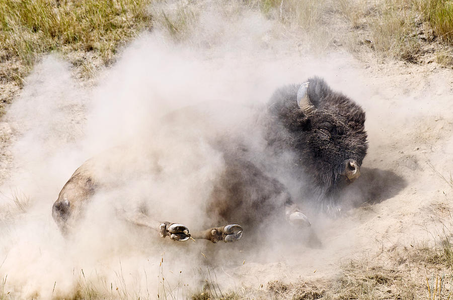 Image result for bison bathing