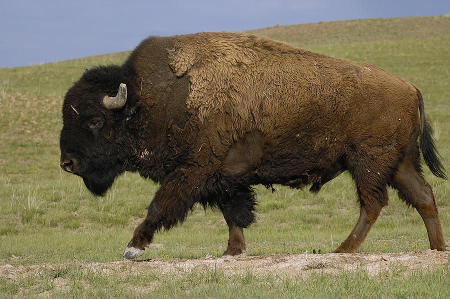 American Bison Male Wyoming Photograph by Pete Oxford