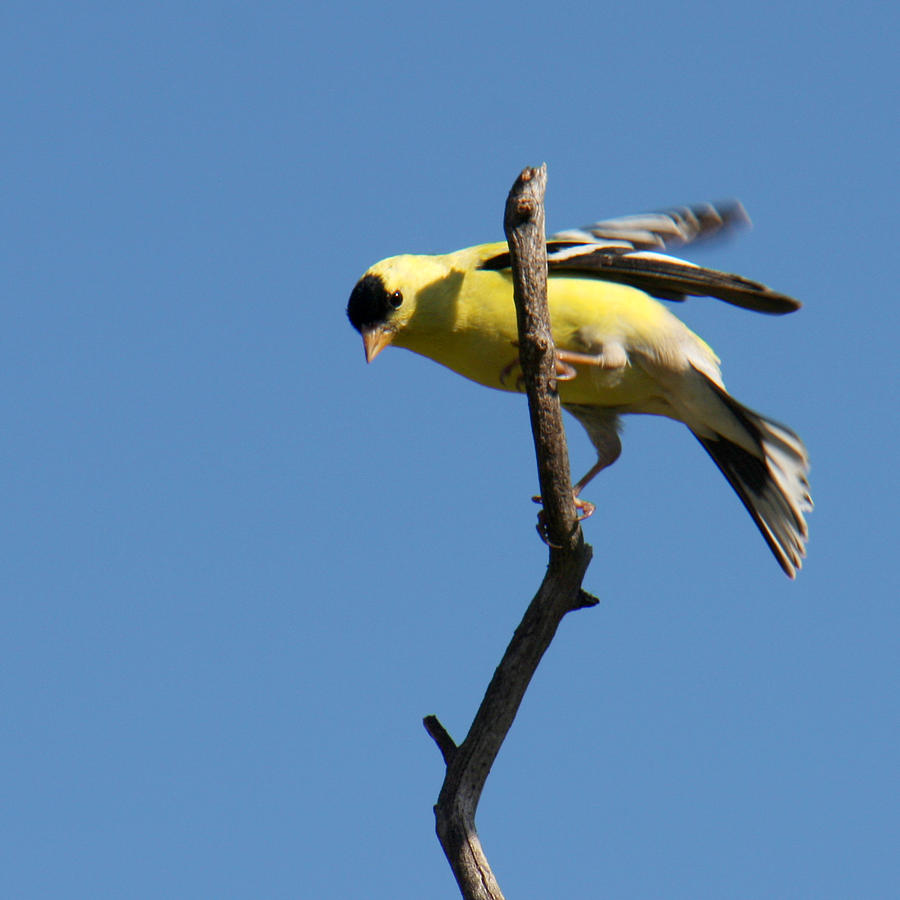 American Goldfinch Photograph - American Goldfinch by Bob and Jan Shriner