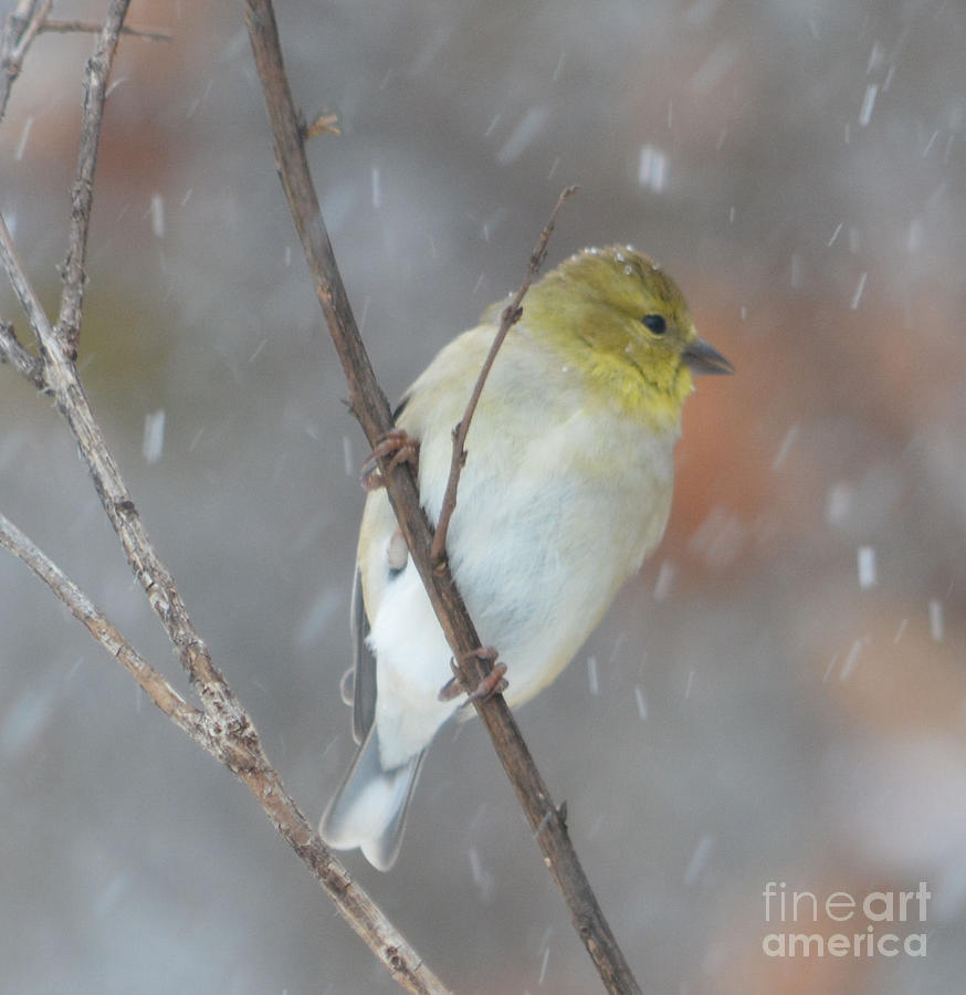 American Goldfinch Hanging On  Painting by Ruth  Housley