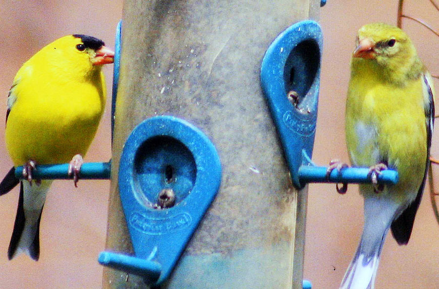 Migratory Bird Photograph - American Goldfinch by Kay Novy