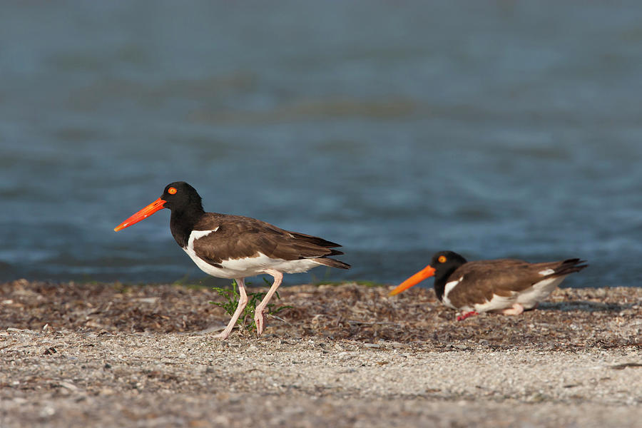 Adult Photograph - American Oystercatcher (haematopus by Larry Ditto