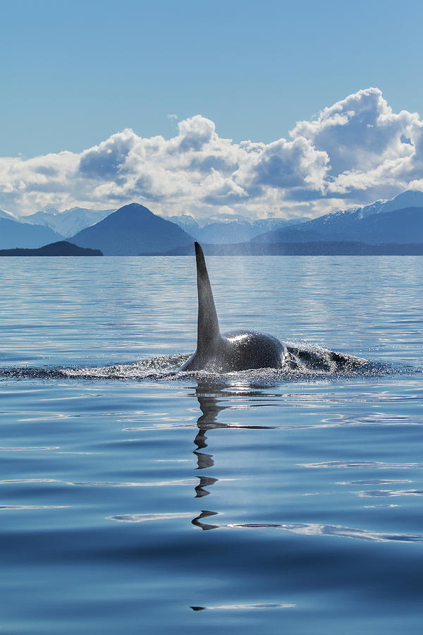 An Orca Whale, Or Killer Whale by John Hyde