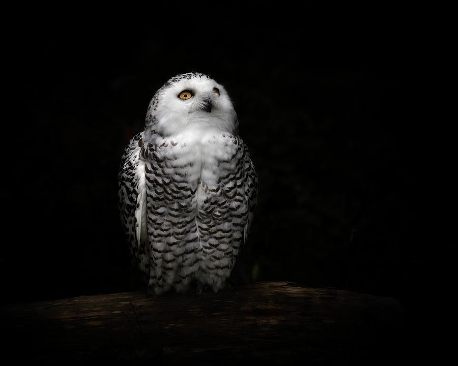An Owl Photograph by Kaneko Ryo