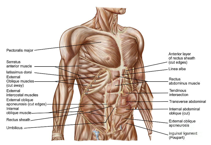 Anatomy Of Human Abdominal Muscles Digital Art by Stocktrek Images