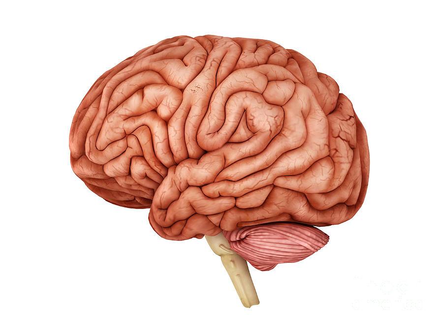 Anatomy Of Human Brain Side View Digital Art By Stocktrek Images