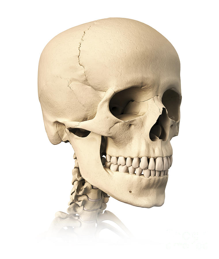 Anatomy Of Human Skull, Side View Digital Art by Leonello Calvetti