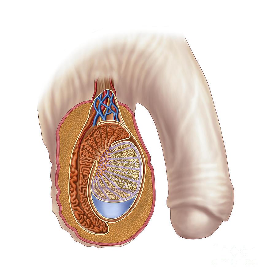 Anatomy Of Male Testis Digital Art by Stocktrek Images