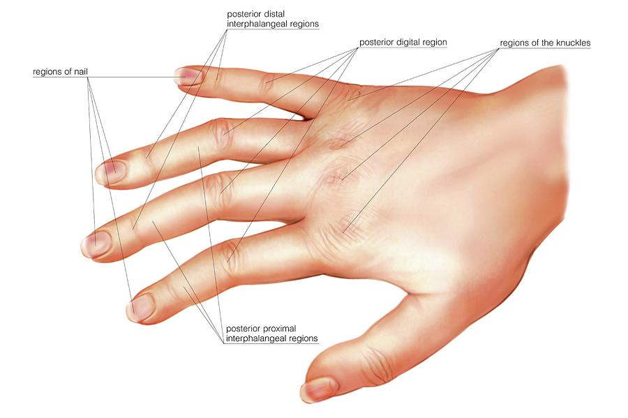Anatomy Regions Of The Hand Photograph By Asklepios Medical Atlas
