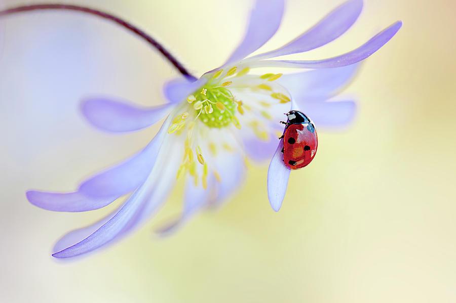 Ladybird Photograph - Anemone Lady by Jacky Parker
