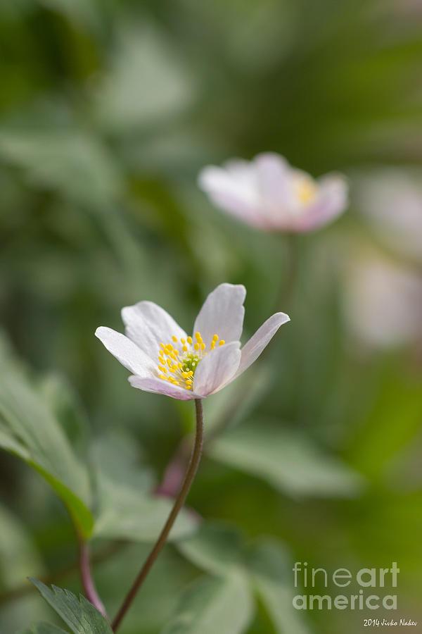 Anemone Photograph - Anemone Windflower by Jivko Nakev