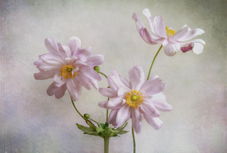 Anemone Photograph - Anemones by Mandy Disher