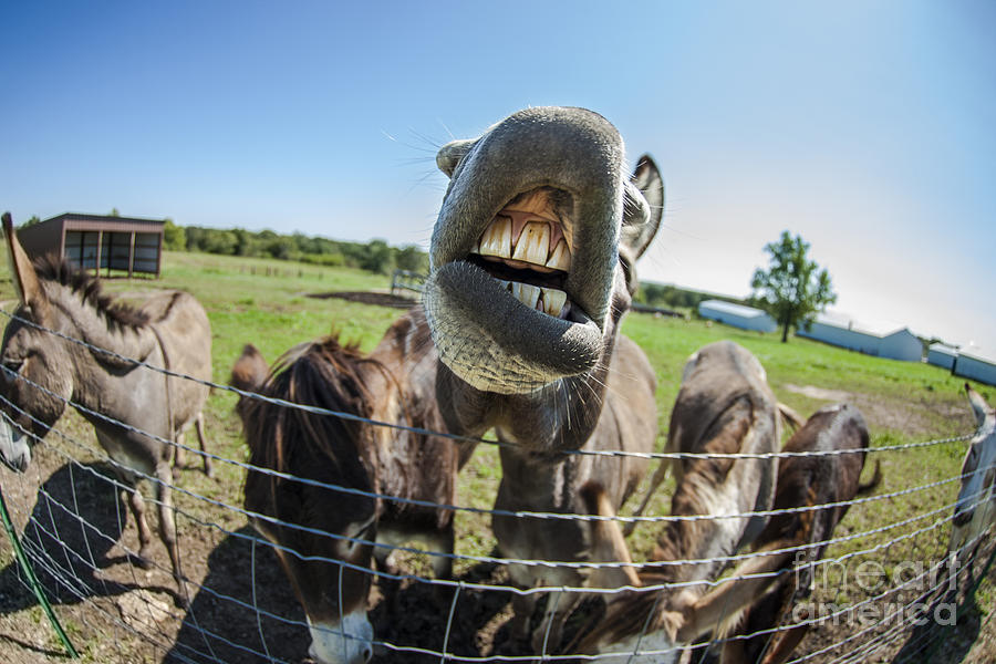 Landscape Photograph - Animal Personalities Silly Talking Donkey With Whiskers by Jani Bryson