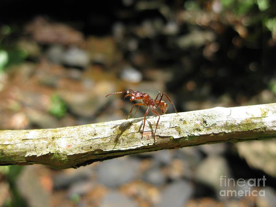 Tropical Rainforest Photograph - Ant on a Stick by AC Hamilton
