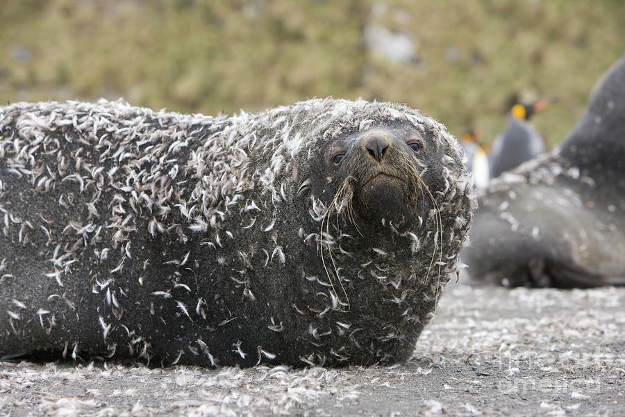 Antarctic Fur Seal In Penguin Feathers Photograph by Yva Momatiuk and John Eastcott