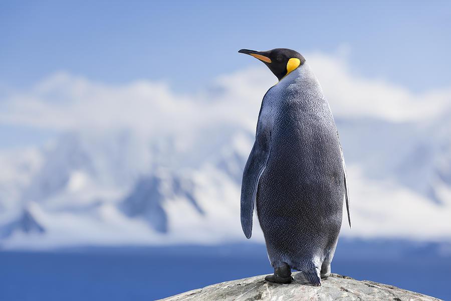 Antarctica King penguin head Photograph by Grafissimo