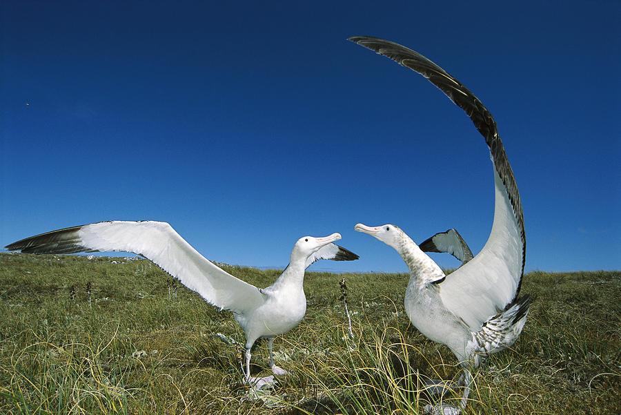 Photograph Photograph - Antipodean Albatross Courtship Display by Tui De Roy