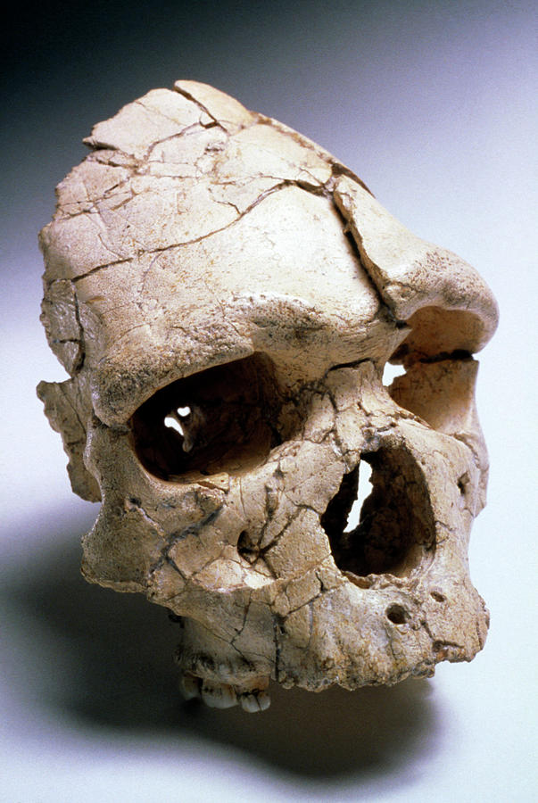 Fossil Man Photograph - Arago Man by John Reader/science Photo Library