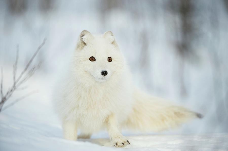 Vulpes Lagopus Photograph - Arctic Fox In The Snow by Dr P. Marazzi/science Photo Library